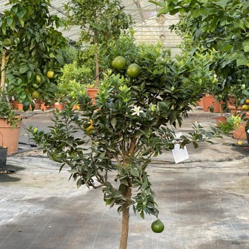 "CHINOTTO ""Citrus mirtyfolia"""