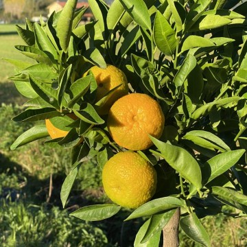 """CLEMENTINO ROSSO """"Citrus clementine"""""""