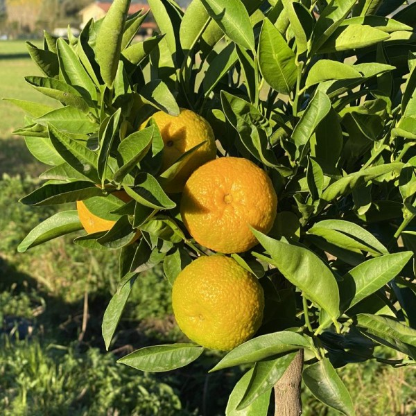 "CLEMENTINO ROSSO ""Citrus clementine"""